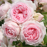 kordes rosen home page the most beautiful roses of the world. Black Bedroom Furniture Sets. Home Design Ideas