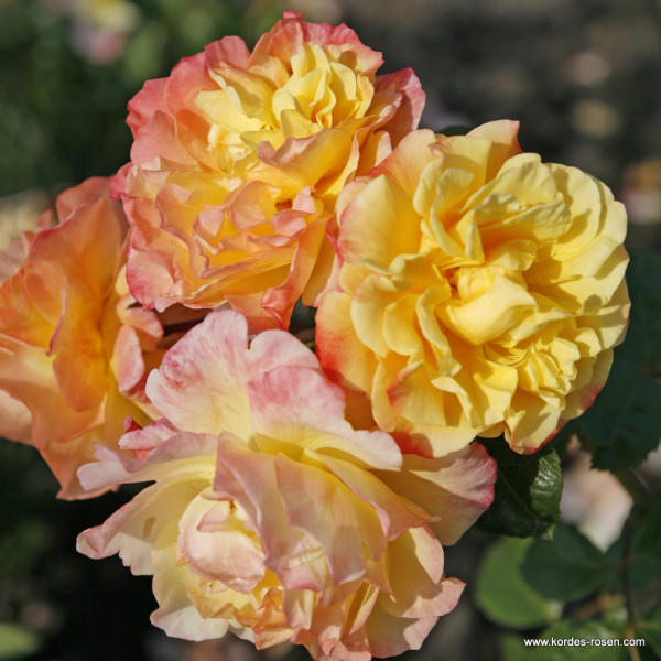 Artikelbild 1 des Artikels Moonlight - Kordes' Rose Moonlight ®